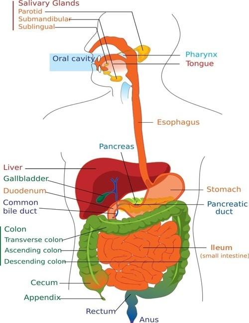 Diagramma di digestione