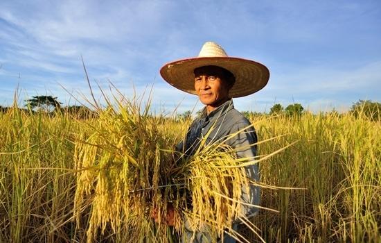 Uomo che lavora sui campi di riso